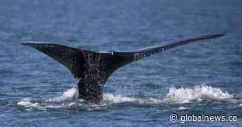 Whale's survival needs fishers, regulators to innovate to avoid entanglements: film