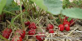 Erdbeersaison: Preise sind in der Region dieses Jahr nicht gestiegen | Selm Olfen Nordkirchen - Dorstener Zeitung