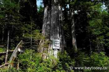 Old growth logging opponents end hunger strike; 8 more arrests at Fairy Creek