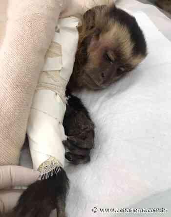 Macaco-prego é atacado por cães e fica gravemente ferido em Sinop - CenárioMT