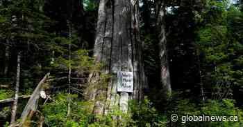 RCMP make 8 more arrests at Vancouver Island old-growth logging blockades