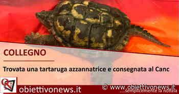 COLLEGNO – Trovata una tartaruga azzannatrice e consegnata al Canc - ObiettivoNews