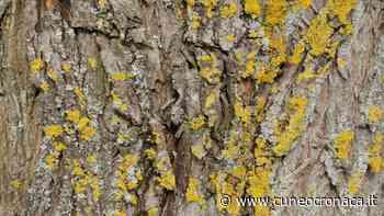 """MONDOVI'/ """"Licheni no panic"""": il rapporto con gli alberi da frutto in un seminario - Cuneocronaca.it"""