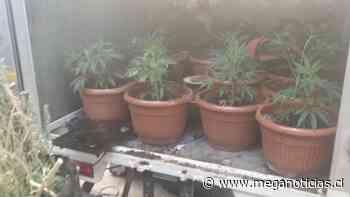 Encuentran cerca de 900 plantas de marihuana en San Miguel: Eran minuciosamente cuidadas - Meganoticias