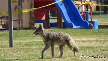 After 3 coyote attacks on humans, city asks northwest Calgary residents to be on alert