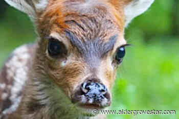 Maple Ridge fawn in Langley wildlife sanctuary after separation from mother – Aldergrove Star - Aldergrove Star