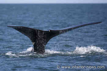 Whale's survival needs fishers, regulators to innovate to avoid entanglements: film - Smithers Interior News