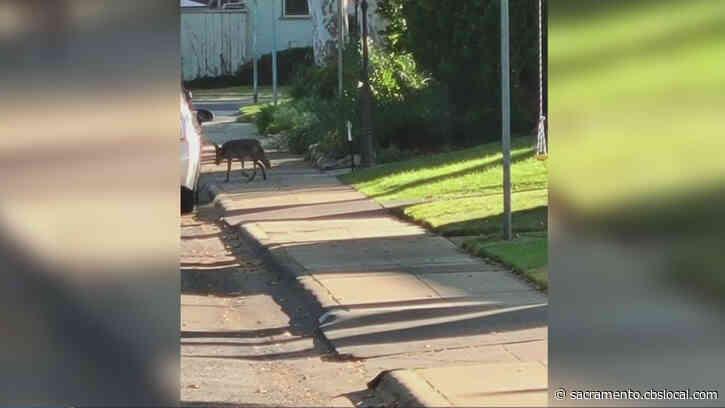 Coyote Spotted In East Sacramento Neighborhood