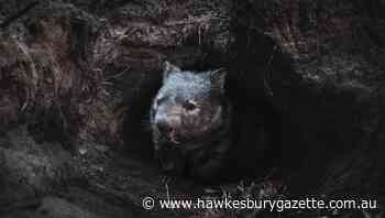 Mange rife among Macdonald Valley wombats, residents rally to treat them - Hawkesbury Gazette