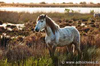 Steppa Bianca – Memorie di Albino cavallo da guerra - AdHoc News