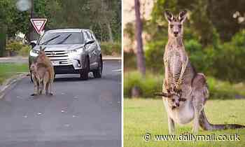 Frisky kangaroos caught getting intimate in the middle of a Melbourne road