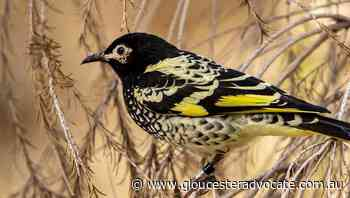 Singing to honeyeaters helps them thrive - Gloucester Advocate