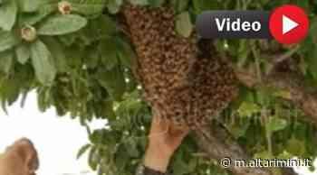 VIDEO Rimini: api sull'albero del bar. Trovata 'la regina', rimosso gigantesco alveare - AltaRimini