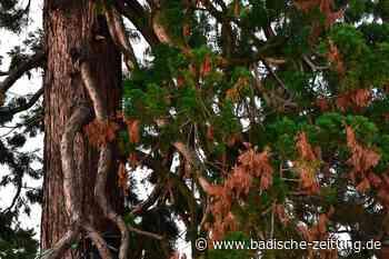 Mammutbaum im Trockenstress - Rheinfelden - Badische Zeitung
