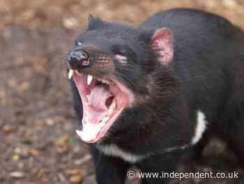 Tasmanian devils reintroduced to Australian island as conservation measure wipe out thousands of penguins