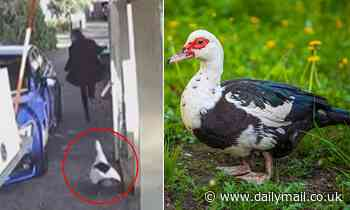 Queensland man's Muscovy duck attacks thinking woman is a home invader