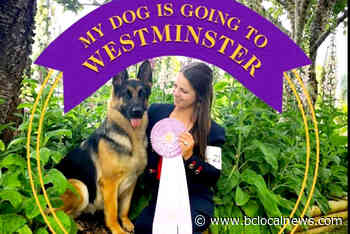 Aldergrove breeder earns two top honours at Westminster dog show – BC Local News - BCLocalNews