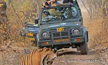 Tiger appears bemused as tourists look the other direction after it emerged in front of their car