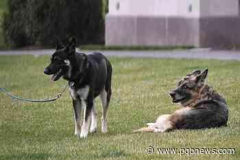 Bidens' older dog, Champ, has died; German shepherd was 13 - Parksville-Qualicum Beach News
