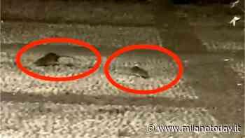 L'invasione di topi in centro a Milano - MilanoToday.it