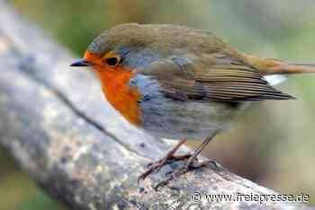 Rotkehlchen im Vogtland: Darum ändern die Zugvögel ihr Verhalten - Freie Presse