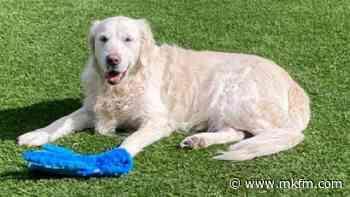 Owner's urgent plea as elderly Golden Retriever goes missing from her Milton Keynes home - MKFM