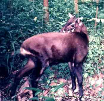Love for Living Animals: The Polite and Serene Saola - PRESSENZA - PRESSENZA – International News Agency