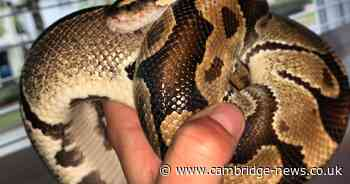 Jafaar the python on the loose in Cambridge 'could pose danger to small pets' - Cambridgeshire Live