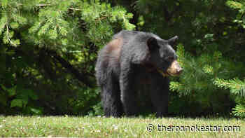 Tents / Soft-sided Campers Temporarily Prohibited at Mount Pisgah Campground on Blue Ridge Parkway Due to Bear Activity - The Roanoke Star