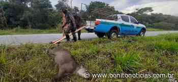 Anta morre após ser atropelada em rodovia em Bonito - Bonito Notícias