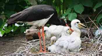 Racconigi, confermata la nidificazione delle cicogna nera all'interno del Parco del Castello Reale - Cuneo24