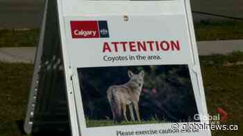 Coyote believed to be responsible for 3 attacks in Calgary to be killed