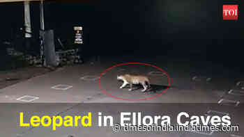 Maharashtra: Leopard spotted at Ellora Caves
