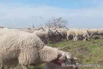 Wolf bijt twee schapen dood voor ogen van herder op schietterrein in Helchteren