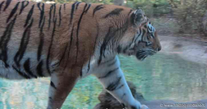 """Tigre siberiana scavalca il recinto dello zoo e uccide il """"suo"""" guardiano"""
