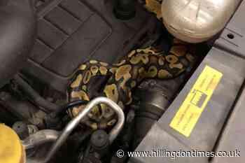 Mechanic finds python under car bonnet during MOT - Hillingdon Times