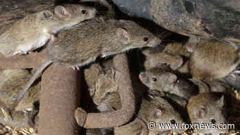 Australian prison to be evacuated due to plague of mice