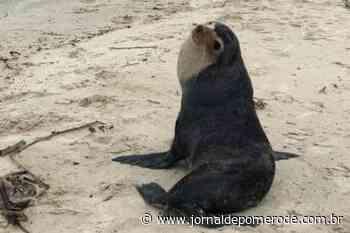 Lobo-marinho é visto descansando em praia de Florianópolis - Jornal de Pomerode
