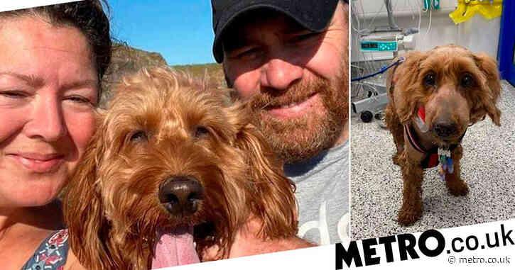 Cockapoo mauled by dog so badly couple face £20,000 vet's bill despite insurance