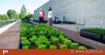 A Porto Business School montou uma horta para tirar estudantes e funcionários do computador - PÚBLICO