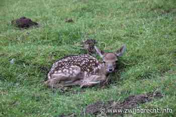 Hertenkalfje geboren op Kinderboerderij De Kiboe-hoeve - Zwijndrecht informatief