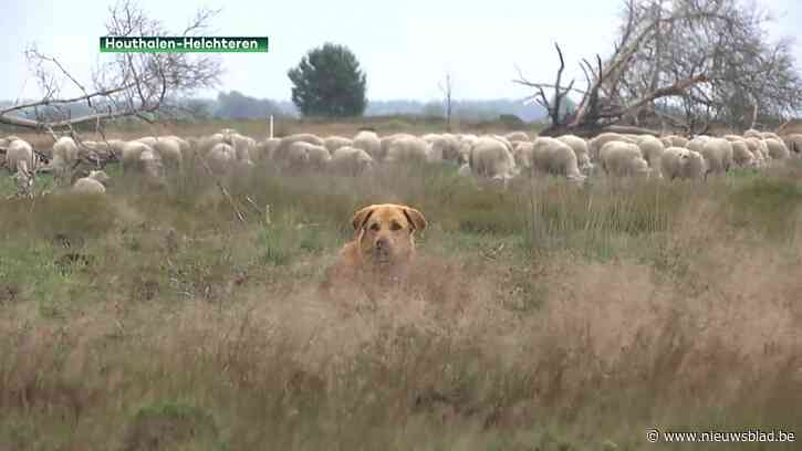 Wolf bijt op klaarlichte dag schapen dood onder oog van herder