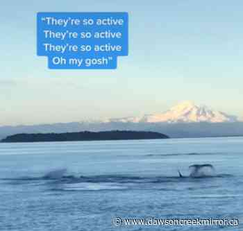 Woman catches stunning orca videos near Vancouver - Dawson Creek Mirror
