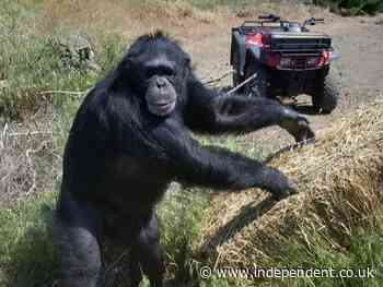 Chimpanzee shot after woman attacked and trapped in basement