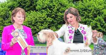 Local dogs earn Award of Merit at Westminster - Seymour Tribune