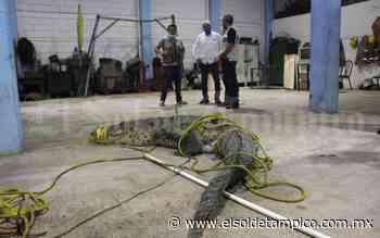 Urgen ambientalistas controlar población de cocodrilos - El Sol de Tampico