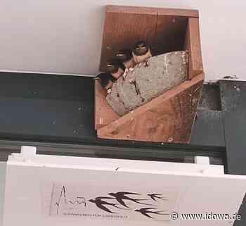 Nest abgestürzt - Schwalbenrettung der ganz besonderen Art in Landshut - idowa