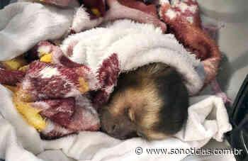 Macaco que foi atacado por cachorros é resgatado em Sinop - Só Notícias