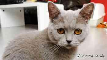 Katze Haustier Kinder: Fünfjähriges Mädchen aus Neuenhagen vermisst ihre graue Britisch Kurzhaar - moz.de