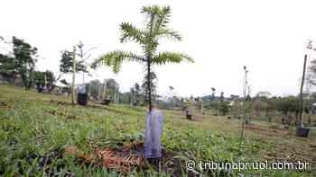 Curitiba distribui mudas de árvores nativas, ipê, pitanga e mais pra plantar - Tribuna do Paraná